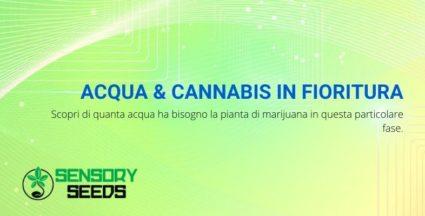 acqua e cannabis in fioritura: dosi e metodi