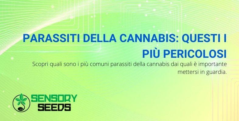 parassiti della cannabis più pericolosi