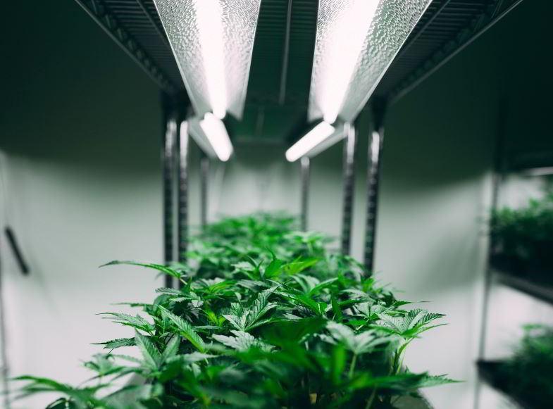 qual è la pianta di canapa più produttiva indoor