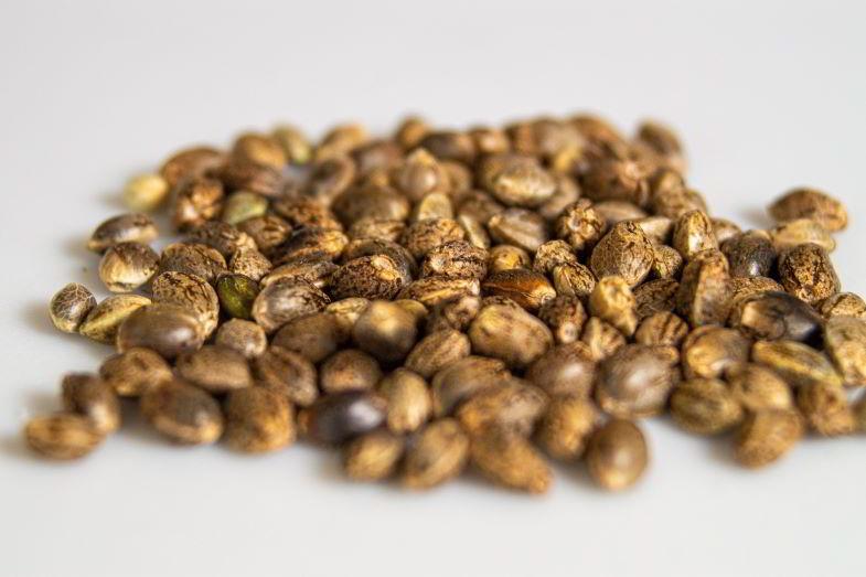 Dove conservare i semi di cannabis?