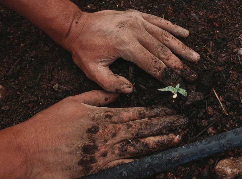 seme di cannabis germogliato