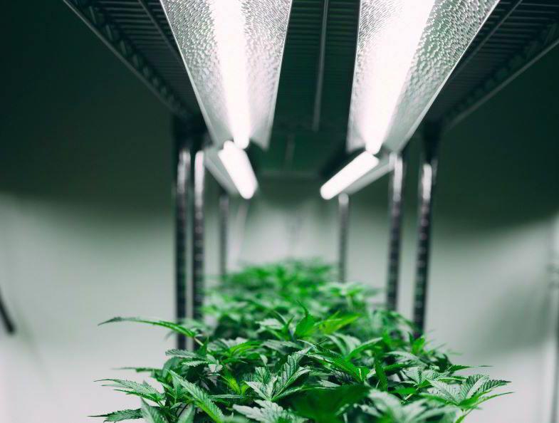 coltura della marijuana indoor