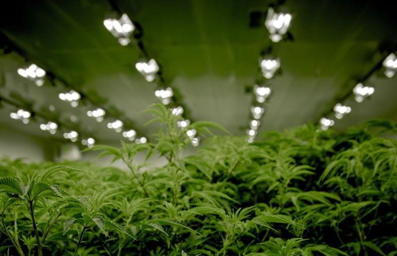 illuminazione della marijuana indoor