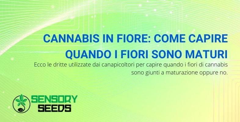 maturazione della cannabis in fiore