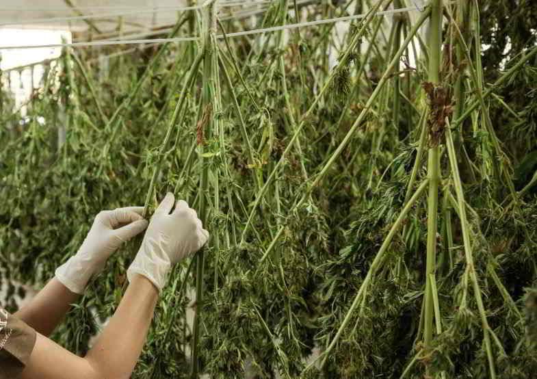 piante di cannabis appese per l'essiccazione