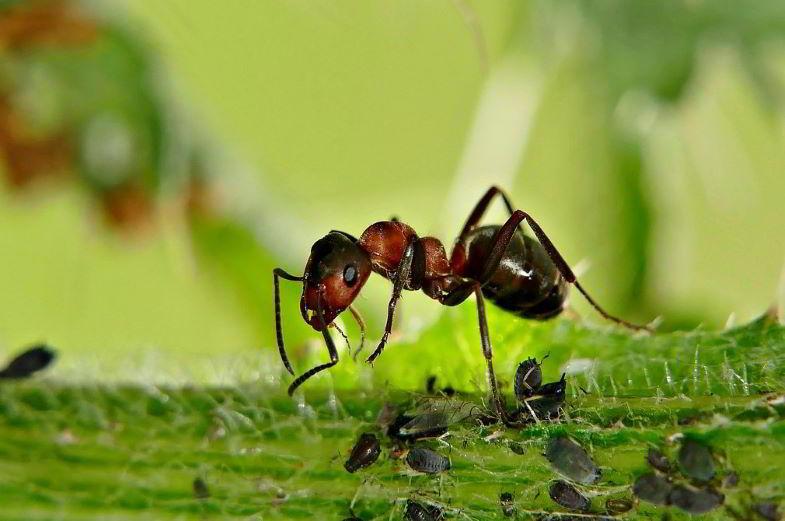 formica e afidi su una pianta